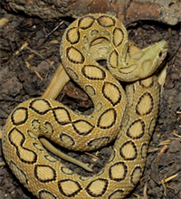 Photo of Study estimates more than one million Indians died from snakebite envenoming over past two decades