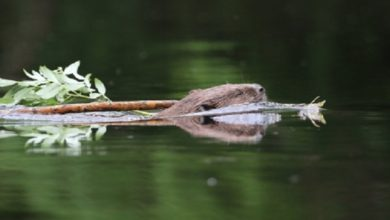Photo of Five-year beaver reintroduction trial successfully completed